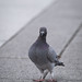 自由廣場的和平鴿