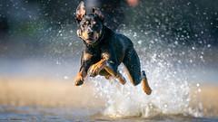 Jake: Australian Kelpie Cattle Dog (mark galer) Tags: 428 stkilda beach dog kelpie sony fe 400 gm f28