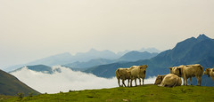 Cows on the slopes of Mount Orhy (Nils van Rooijen) Tags: ohry spain france navarra mountains landscape nature scenery cows herd clouds travel pyrenees meadows hilles view animals outdoors