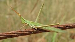 Mediterranean Slant Faced Grasshopper (Acrida ungarica mediterranea) (Nick Dobbs) Tags: mediterranean slant faced grasshopper acrida ungarica mediterranea insect conehead coneheaded nosed malta