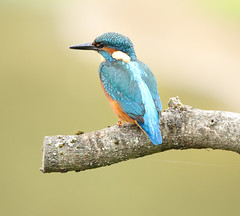 1S9A7053 (saundersfay) Tags: kingfisher bird turquoise feathers orange branch