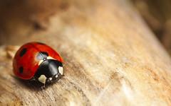 7-Spot Ladybird (snomanda) Tags: ladybird ladybug insect beetle animal invertebrate seven 7spot ladybeetle wildlife nature entomology ecology summer bug red arthropoda coleoptera septempuntacta coccinella macro