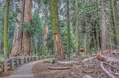 Big Trees on the Trail (Michael F. Nyiri) Tags: hdr colorful sequoianationalpark trees california northerncalifornia nationalparks