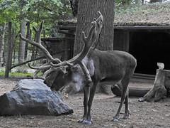 rennes1808141716-2 (opa guy) Tags: animaux continentsetpays domainesaintecroix europe france grandest lorraine moselle rhodes cervidés renne
