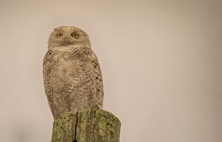 Snowy Owl: Bubo scandiacus