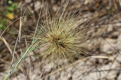 Beach Spinifex (1) (Richard Collier - Wildlife and Travel Photography) Tags: wildflowers flowers australia naturalhistory beachspinifex flora grass