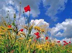 Summer field (Tobi_2008) Tags: sommer summer pflanzen plants himmel sky natur nature
