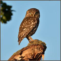 Little Owl (image 2 of 2) (Full Moon Images) Tags: wildlife nature cambridgeshire fens bird birdpfprey little owl sunset