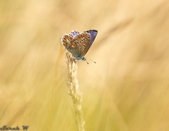 Common Blue in the sunshine (SarahW66) Tags: blue commonblue butterflies butterfly macrobutterfly small insectphotography insects sigmamacro macrophotography macro canon80d sigma105mm natural naturalbokeh naturephotography