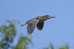 Flying High (A.Joseph Images) Tags: bird blue green greenheron heron flight brown wildlife wadingbirds nature nikkor200500mmedf56vr nikon montreal quebec technoparc canada