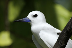 Gygis alba (Fairy Tern) - Seychelles . (Nick Dean1) Tags: gygisalba fairytern aves birdperfect birdwatcher thewonderfulworldofbirds birdisland seychelles indianocean charadriiformes seabird tern