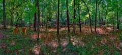 A walk in the Ozark forest (boriches) Tags: forest ozarks missouri deer