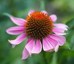 Echinachea... (DawnWarrior) Tags: glastonbury chalicewell gardens sanctuary flower pink green orange closeup smooth bokeh summer sunshine sigma dawnwarrior