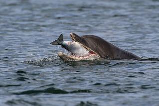 Dolphin feeding - Morray Firth