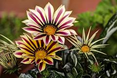 I FIORI COME LI VEDO IO.... (FRANCO600D) Tags: gazania fioritura canon eos600d sigma franco600d colore flora 859 76 13