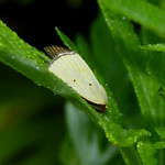 Black-bordered Lemon Moth thumbnail