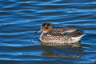 Green-winged Teal (hen) ©