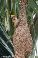 Baya weaver (asheshr) Tags: 18140mm bayabird bayaweaver bird birds birdsofindia birdsofindiansubcontinent birdsofodisha birdsoforissa d7200 nikkor nikon nikond7200 odisha orissa weaverbird