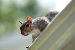 Squirrel Watching me from the Roof (Anne Ahearne) Tags: wild animal nature wildlife cute gray grey squirrel easterngraysquirrel bokeh roof house