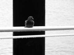 kiel_2018_P8111283 (2) (ghoermann) Tags: deu deutschland düsternbrook geo:lat=5433347323 geo:lon=1015325546 geotagged kiel schleswigholstein bird balticsea