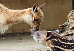 South american tapir and Vicuna Artis JN6A0862 (j.a.kok) Tags: vicuna tapir zuidamerika zuidamerikaansetapir southamerica southamericantapir animal artis zoogdier dier mammal baby babytapir
