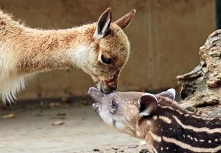 South american tapir and Vicuna Artis JN6A0862