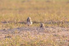 Burrowing Owl mates