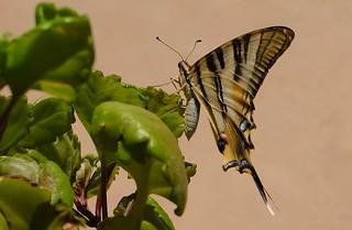Una mariposa chupaleches ....