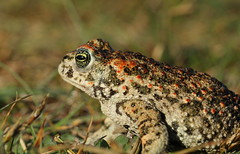 Natterjack Toad. (1 of 3) (Steviethewaspwhisperer) Tags: natterjacktoad natterjack toad holmennr holme nnr norfolk