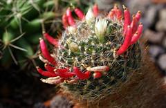 Kaktus / cactus (Mammillaria seideliana) (HEN-Magonza) Tags: botanischergartenmainz mainzbotanicalgardens flora natur nature rheinlandpfalz rhinelandpalatinate deutschland germany kaktus cactus mammillariaseideliana