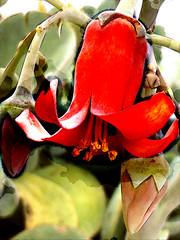 Peeling back (Steve Taylor (Photography)) Tags: digitalart green red white brown newzealand nz southisland canterbury christchurch northnewbrighton plant succulent flower bud texture