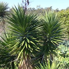 Yucca aloifolia (tanetahi) Tags: yucca yuccaaloifolia spanishdagger agavoideae spanishbayonet mtcootthabotanicgardens tanetahi