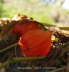 physalis ....ou...amour en cage.... (lescouleursisca) Tags: physalis amour en cage été couleurs sisca potager