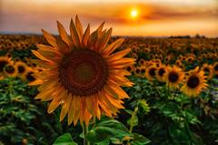Sunflower Sunset (HLazyJ - Susan Humphrey) Tags: colorado coloradoroads sunset southwesterncolorado sony emount a7riii sunflower ©susanhumphrey