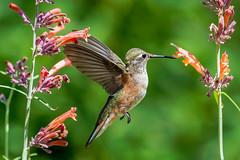 Broad-Tailed Hummingbird Close-up (Bernie Duhamel) Tags: broadtailedhummingbird bird colorado coloradowildlife wildlife sonya9 sonyfe100400mm frontrange greatphotographers teamsony rockymountains bernie duhamel flight flying flowers