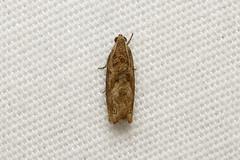 Tortricidae sp (Moth) - Isunga, Uganda. (Nick Dean1) Tags: animalia arthropoda arthropod hexapoda hexapod insect insecta lepidoptera moth isunga kibalenationalpark kibale uganda