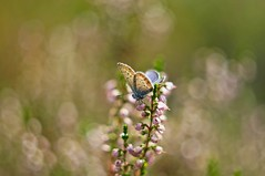 Common blue (Stefano Rugolo) Tags: stefanorugolo pentax k5 pentaxk5 helios44258mmf2 helios442 helios m42 ricohimaging macro commonblue polyommatusicarus butterfly summer bokeh depthoffield manualfocuslens manualfocus manual vintagelens fotodioxpro fotodioxmacroextensiontube