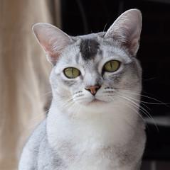 Darcy (pouncealot) Tags: cat catportrait burmi burmilla tabby pet petportrait