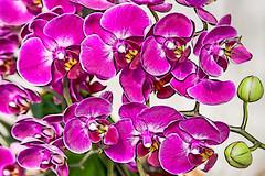 Blossom -46- (Jan 1147) Tags: blossom bloei orchid orchidee natuur nature bloem bloemen flower flowers belgium