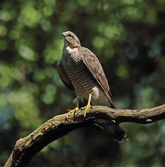 Sparrowhawk (saundersfay) Tags: sparrowhawks hot cooling feathers preening birds trees woods