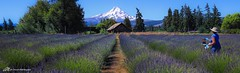 Lavender Fields in Hood River (Matt Straite Photography) Tags: lavender flower flowers purple feilds fields hood mountain paint painter mt oregon landscape