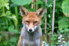 Patiently Waiting...... (law_keven) Tags: foxes fox animals wildlife wildlifephotography photography catford london england gardens urbanredfox garden animal