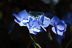 Hydrangea (yukky89_yamashita) Tags: 長岡京市 京都 あじさい あじさいウイーク 柳谷観音 temple kyoto nagaokakyo hydrangea flowers