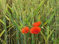 Sur les chemins de randonnée... Seine-et-Marne (77) (Yvette G.) Tags: coquelicot céréales blé randonnée îledefrance seineetmarne 77 cheminderandonnée