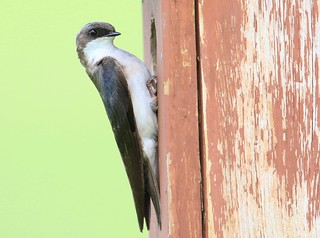 tree swallow female near Lime Springs IA 653A4915