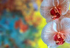 (rickhanger) Tags: orchids flowers dof nature