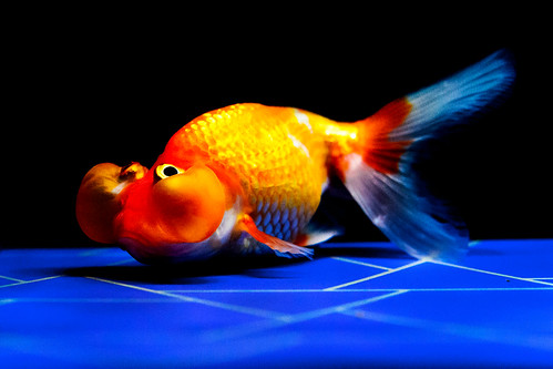 Bubble eye (goldfish) of Sumida Aquarium in Tokyo Sky Tree Town : スイホウガン(水泡眼、東京スカイツリータウン・すみだ水族館)
