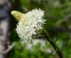 Bear Grass (maytag97) Tags: maytag97 nikon d750 bear grass white northwest wildflower tenax xerophyllum nature bloom green flower plant pacific detail flora alpine color closeup floral petal stem botanical blooming vegetation blossoms macro beargrass beautiful summer natural forest blossom mountain meadow flowers beauty squaw soap quipquip indian basket