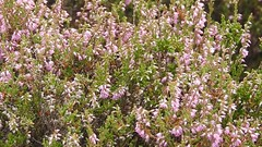 Bombus indet  visiting ling flowers (BSCG (Badenoch and Strathspey Conservation Group)) Tags: acm hymenoptera bombus bumblebee insect pollinator flower calluna heathland