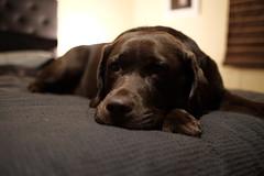 Time for sleep (Buck777) Tags: fuji xh1 rest sleepy pet dog labradorchocolate